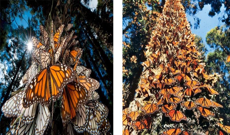 mariposas-monarcas2