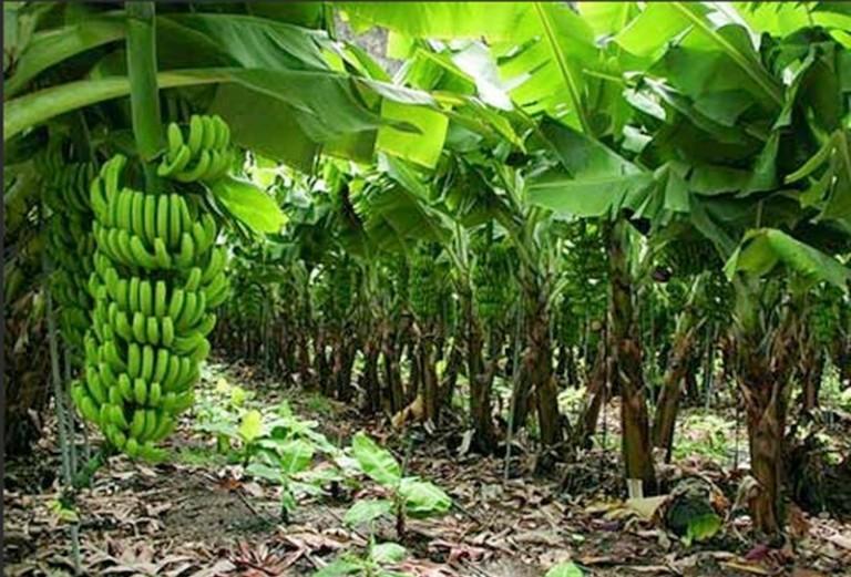 10. Los plátanos ya no sostienen a PV