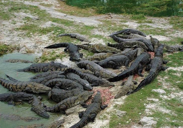 14-es-cierto-que-puedo-observar-cocodrilos